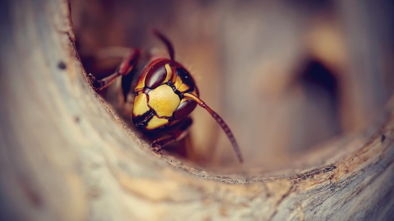 巣から覗き込むハチ